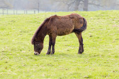 Un Exmoor-potro joven Foto de archivo