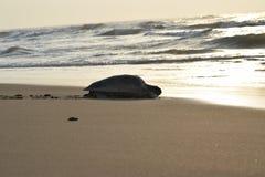 Un expédition olive de tortue d'énigme vers l'océan pour sa survie dessus le mois fin avril à la baie du Bengale photos stock