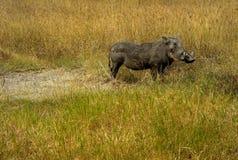 Un facocero in una pianura erbosa, cratere di Ngorongoro, Tanzania fotografia stock
