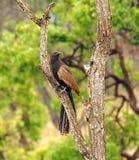 Un fagiano australiano Coucal Fotografie Stock Libere da Diritti