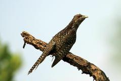 Un fagiano di corvo giovanile Immagini Stock Libere da Diritti