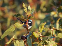 Un Fairywren superbe masculin Photo stock