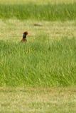 Un faisán en un campo Imagenes de archivo