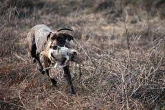 Un faisán y su perro Foto de archivo libre de regalías