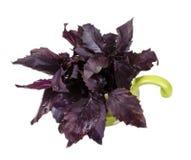 Un faisceau du basilic violet dans un pot Image libre de droits