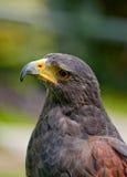 Un falco Fotografia Stock Libera da Diritti