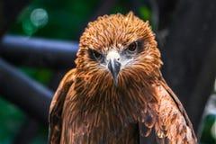 Un falco astuto Fotografia Stock