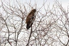 Un falco che si nasconde sulla cima dell'albero Immagine Stock Libera da Diritti