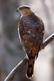 Un falco del ` s del bottaio si è appollaiato sul ramo nella foresta Fotografia Stock Libera da Diritti