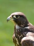 Un falco di caccia Immagini Stock