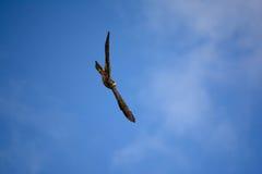Un falco di volo Fotografia Stock