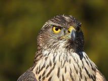Un falco femminile nel suo ambiente naturale fotografia stock
