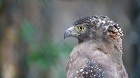 Un falco munito rosso archivi video