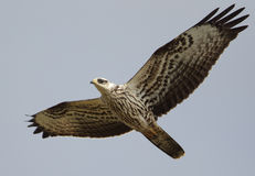 Un falco pecchiaiolo di migrazione Fotografia Stock