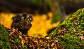 Un falco pellegrino Immagini Stock