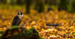 Un falco pellegrino Fotografia Stock