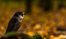 Un falco pellegrino Immagini Stock Libere da Diritti