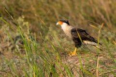 Un falco pescatore si siede nell'erba alta delle dune di sabbia Fotografia Stock
