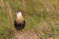Un falco pescatore si siede nell'erba alta delle dune di sabbia Fotografie Stock