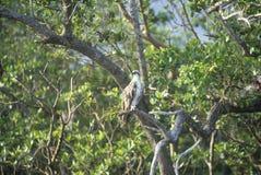 Un falco pescatore si siede in un albero al parco nazionale dei terreni paludosi, 10.000 isole, FL Immagine Stock