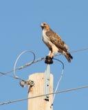 Un falco Rosso-Munito Fotografie Stock