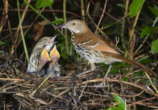 Un famille du Brown Thrasher (rufum de Toxostoma). Photo libre de droits
