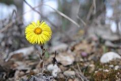 Un farfara del Tussilago del fiore del coltsfoot su un fondo della terra Immagine Stock