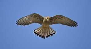 Planant faucon crécerellette Photographie stock