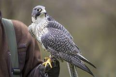 Un faucon en dehors d'une fauconnerie Image libre de droits