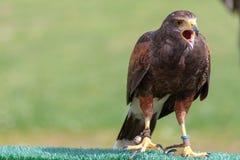 Un faucon exécutant à l'exposition de fauconnerie photo libre de droits
