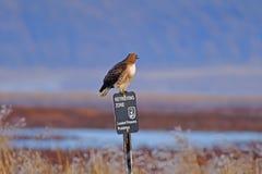 Un faucon gardant un poteau Photos stock