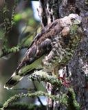 Un faucon large-à ailes se repose sur une branche avec une souris dans des ses serres photos libres de droits