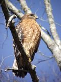 Un faucon ou un oiseau de proie rouge-épaulé photographie stock