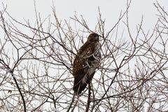Un faucon sur le dessus d'arbre Images libres de droits