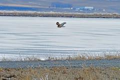 Un faucon volant au-dessus de la rivière Photos stock