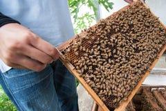 Un favo della tenuta dell'uomo con le api del miele Fotografia Stock