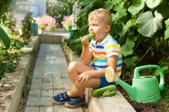 Un feliz muchacho bronceado, un hombre rubio recolecta y come los pepinos verdes Foto de archivo