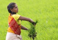 Un femme dans des domaines de riz Photos stock