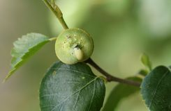 Un femoratus bonito de Caterpillar Cimbex de la mosca de sierra del abedul que alimenta en el abedul de plata en arbolado Imágenes de archivo libres de regalías