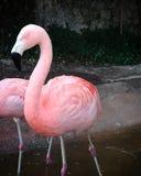 Un fenicottero molto rosa fotografia stock libera da diritti