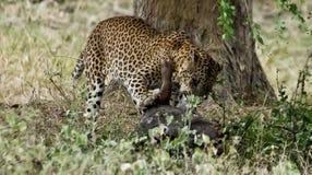 Un festoiement de léopard Photos libres de droits
