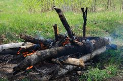 Un feu de bouleau ouvre une session une clairière de forêt Photo libre de droits
