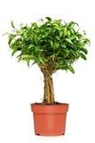 Un Ficus Benjamin dans un bac brun Photos libres de droits