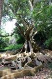 Un ficus de marche avec les racines aériennes dans le jardin botanique sur l'île de San Miguel Image libre de droits