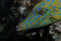 Un Filefish garrapateado (scriptus de Aluterus) Foto de archivo