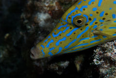Un Filefish gribouillé (scriptus d'Aluterus) Photo stock