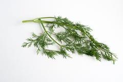 Un filo dell'erba dell'aneto Immagini Stock Libere da Diritti