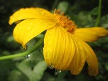 Un fiore bagnato Fotografia Stock