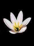 Un fiore bianco Immagine Stock