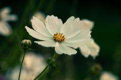 Un fiore bianco Fotografia Stock